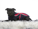 American staffordshire terrier portrait. Image taken in a studio, the dog is wearing a sweater. - 225556350