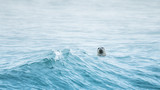 seal in the sea with waves