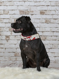 American staffordshire terrier portrait with brick wall background - 225563514