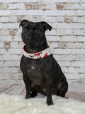 American staffordshire terrier portrait with brick wall background - 225563534