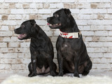 American staffordshire terrier portrait with brick wall background - 225563556