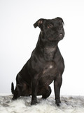 American staffordshire terrier portrait isolated on white. Image taken in a studio. - 225564323