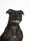 American staffordshire terrier portrait isolated on white. Image taken in a studio. - 225564343