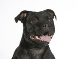 American staffordshire terrier portrait isolated on white. Image taken in a studio. - 225564358