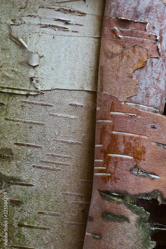 Birch Bark - 225564359