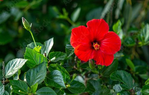 hibiscus flower - 225566134