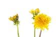 Dandelions - 225567538