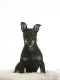 Puppy dog isolated on white. The dog breed is heeler. - 225569573