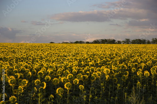 field, sky, nature, yellow, landscape, flower, meadow, flowers, spring, agriculture, summer, sunflower, green, blue, sunflowers, farm, grass, rural, plant, cloud, sun, dandelion, sunny, beautiful, can
