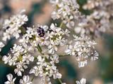 Black striped beetle on white flower - 225580720