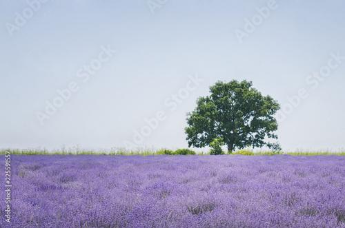 Lavender Purple Blossom Field - 225591557