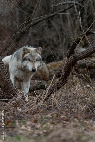 Fototapeta wolf in woods