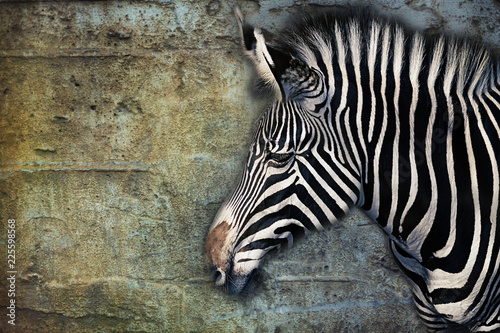 Portrait of a Zebra against an aged stone wall, composite - 225598568