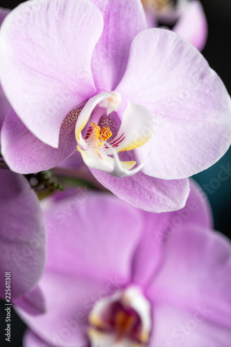 Pink Phalaenopsis orchid flower, close up. Vertical cpmposition