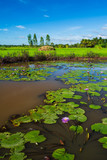 lotus pond with rice field and sky in countryside