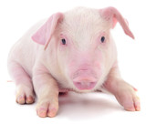 Small pink pig isolated. - 225633139