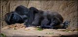 Gorilla mit Baby,wilde Tiere