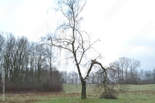 berk met afgebroken tak na storm in natuurgebied bij Kruisbergse bossen - 225666528