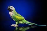 Parakeet on dark blue background