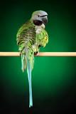 Parakeet on green background