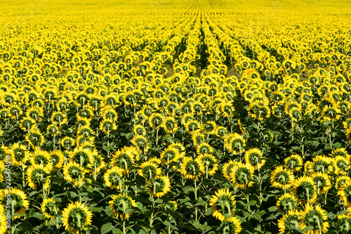 Field of flowering sunflower