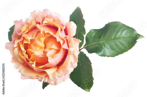 Foto Murales pink and orange color rose top view