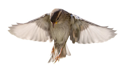 house sparrow in flight isolated on white © Alexander Potapov