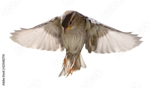 Foto Murales house sparrow in flight isolated on white