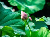Lotus waiting to bloom