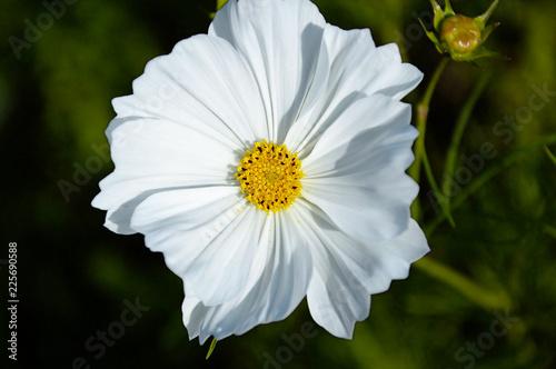 Weiße Blume groß