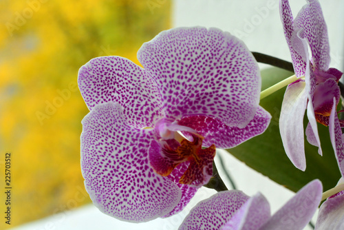 Orchid flower in garden at autumn day for postcard beauty and agriculture idea concept design. Phalaenopsis orchid. - 225703512