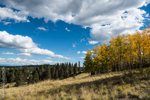 Autumn scene of an aspen grove with foliage turning golden yellow and a grassy meadow under a brilliant blue sky with puffy white clouds © Jim Ekstrand