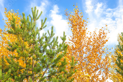 birch and pine in the fall against the blue sky - 225712125