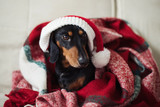 Dachshund, pure bred miniature dog in Santa hat, Chritmas time, holidays, selective focus