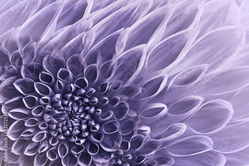 Floral purple background. Flowers dahlias close-up. Flowers composition. Nature.