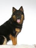 Bohemian shepherd dog portrait. Image taken in a studio  - 225728389