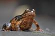 Brown frog macro close-up