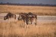 Zebra in the Makgadikgadi Pans National Park, Botswana