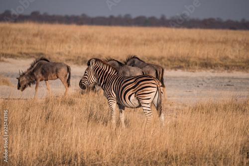 Zebra in the Makgadikgadi Pans National Park, Botswana - 225743196