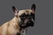 Quadro Close-up photo of a sad pug on a gray background.