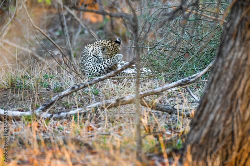Fototapeta Leopard Krüger National Park Südafrika