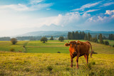 Traditional grazing cows in Pieniny mountains