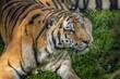 Siberian tiger at Alaska Zoo;  Anchorage, Alaska