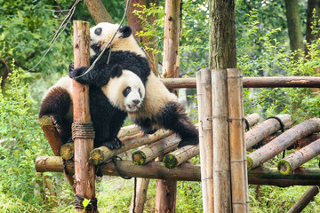Two funny young giant pandas playing together and having fun © efired