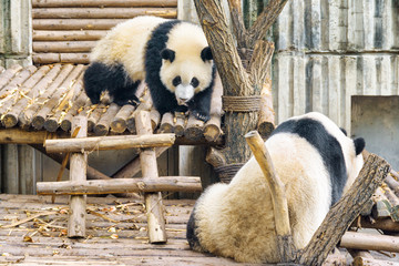 Two cute young giant pandas. Amazing panda bears. Wild animals © efired