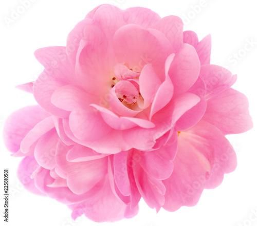 Beautiful pink roses. - 225810581
