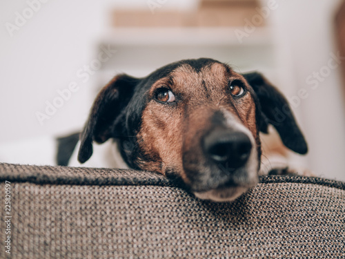 Dog resting at home. Cute terrier dog lying on sofa. - 225820597