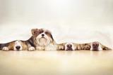 Vier Hunde spielen Verstecken hinter einem Vorhang