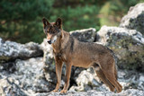 Iberian wolf on the top of the rock looking down