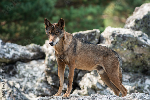 Fototapeta Iberian wolf on the top of the rock looking down
